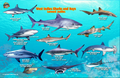 West Indies Sharks & Rays ID Card by Franko