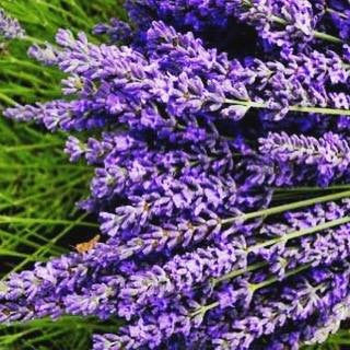 Lavender! It's all about Lavender