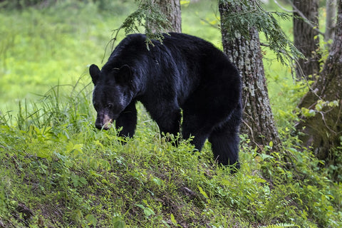 Black Bear in Cades Cove Tennessee