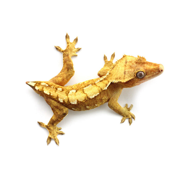 Gecko Bros | Buy Crested Geckos