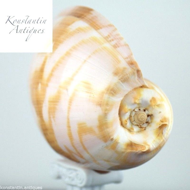 Large sea snail Indian Volutidae Melo Melo shell from Indonesia Great rare gift