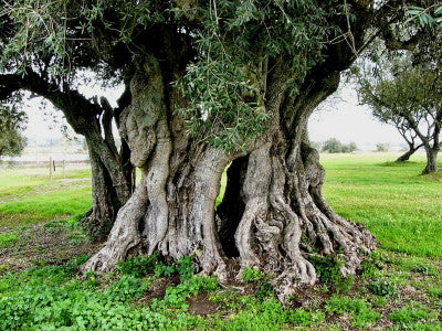 Ancient Olive Tree - Mouse Pad Universe