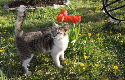Cat Near Tulips - Mouse Pad Universe
