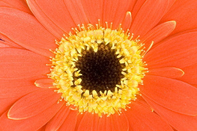 Red Gerbera - Mouse Pad Universe