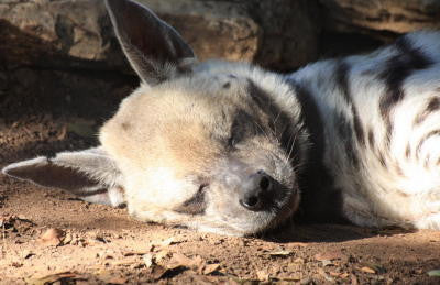 Sleeping Hyena - Mouse Pad Universe