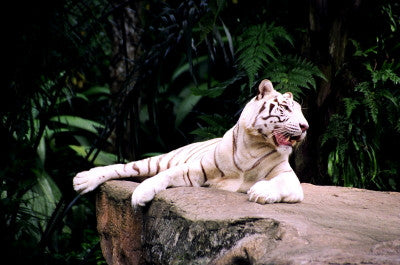 White Tiger Relaxing - Mouse Pad Universe