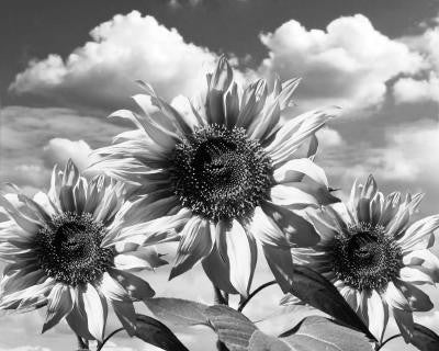 bw Sunflowers - Mouse Pad Universe