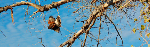 Harris Hawk The Attack Launch