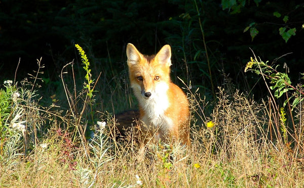 Prince Edward Island Red Fox