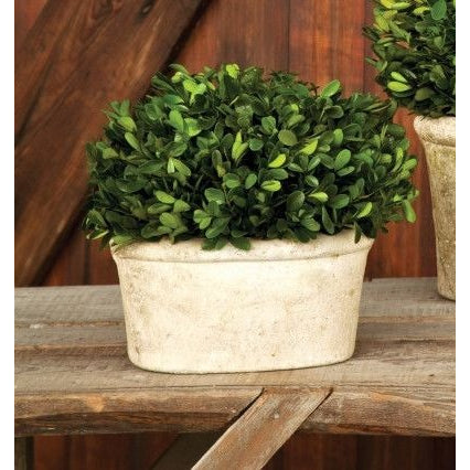 Small Potted Oval Boxwood - E.T. Tobey Company