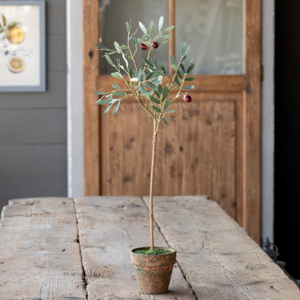 Olive Topiary Potted