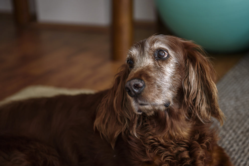 How to Help a Dog with Arthritis at Home