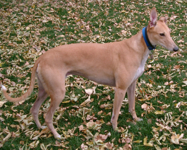 KEEP YOUR GREYHOUND SAFE THIS FALL