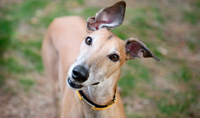 A Couple Things to Keep in Mind with a Greyhound in the City
