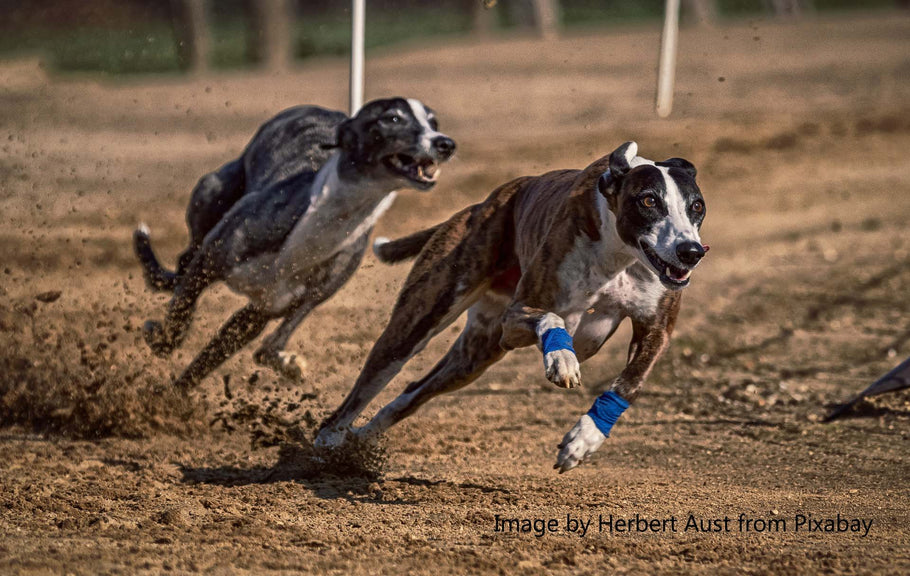 20 FASCINATING FACTS ABOUT GREYHOUNDS