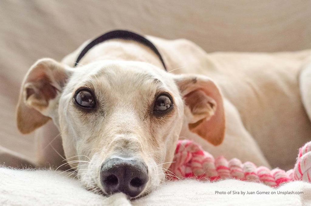 THE IMPORTANCE OF PLAYTIME FOR YOUR GREYHOUND