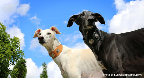 Two Galgos