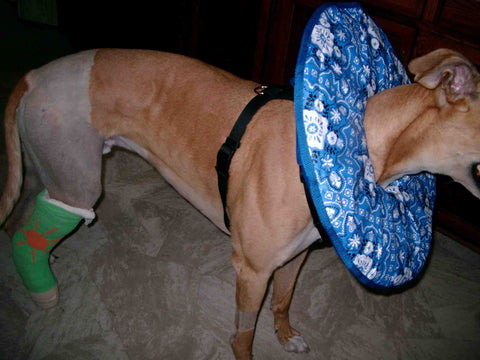 Greyhound with e-collar and leg cast
