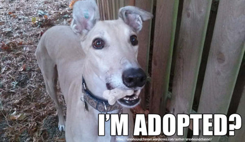 Adopted Greyhound