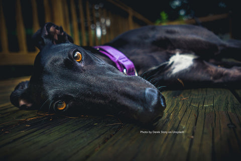Photo of black greyhound