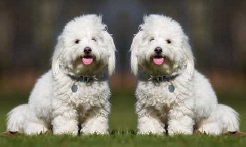 Cloned dogs