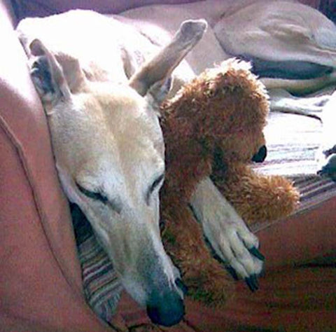 old Greyhound and toy