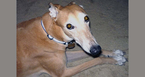 senior greyhound