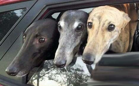 3 Greyhounds in a Car
