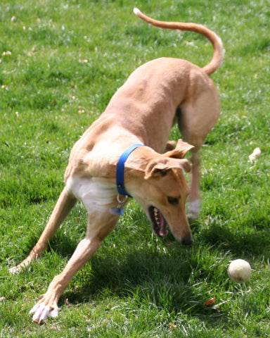Greyhound playing with tennis ball