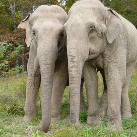Shirley and Jenny via Elephant Sanctuary