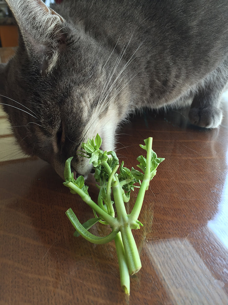 Oliver Cat Nomming Fresh Basil