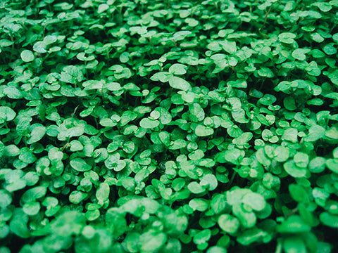 Clovers by Kelly Sikkema - Unsplash