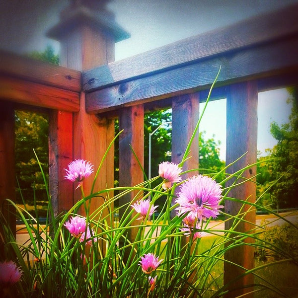 deck chives