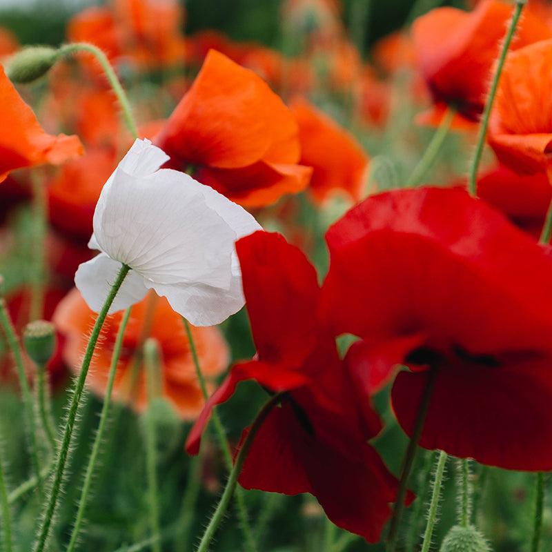 Birth flowers and the meaning behind them european soaps poppy mightylinksfo