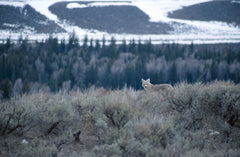 Coyote in large field
