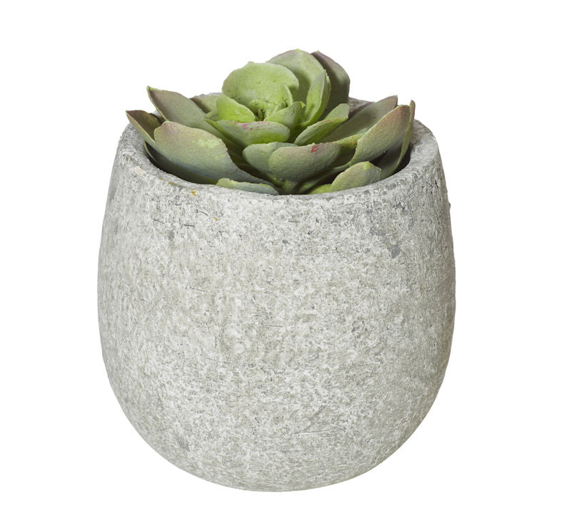 Echeveria in Concrete Pot **LAST ONE**