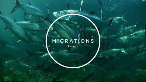 Migrations Part 4: Tarpon