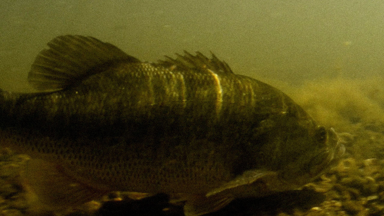 Bass Fish Type