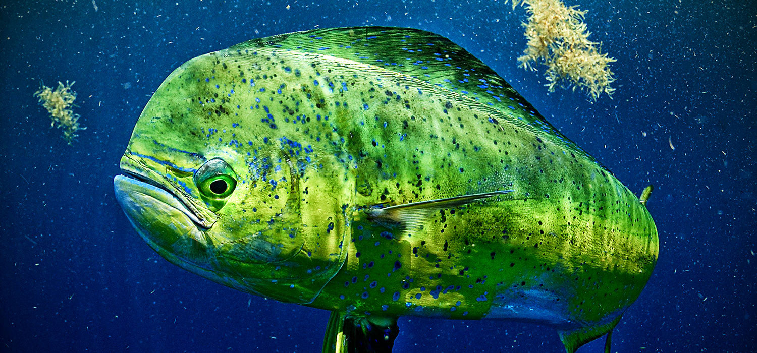 How fast can dolphin fish grow aftco for Mahi mahi fish pictures