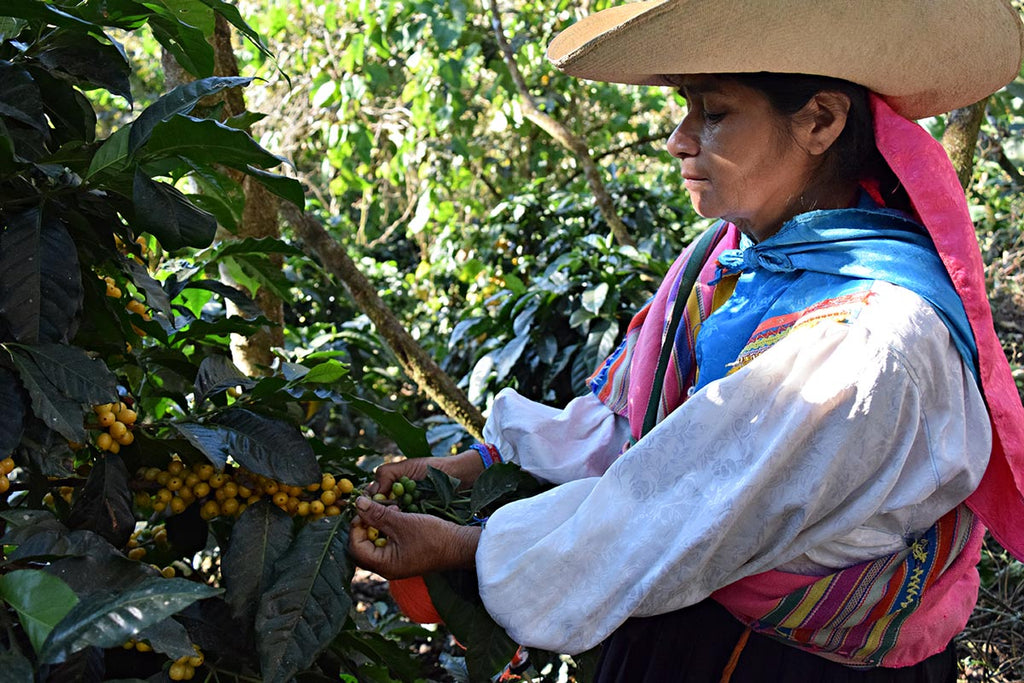 Harvesting organic coffee in Northern Peru.