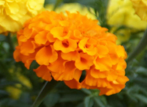 Marigold, October's birth month flower, Birthday Blossom