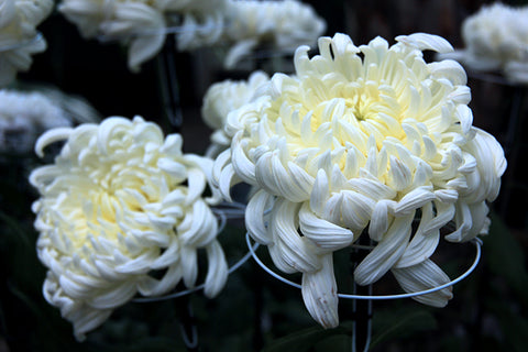 Chrysanthemum, November's birth month flower, birthday blossom