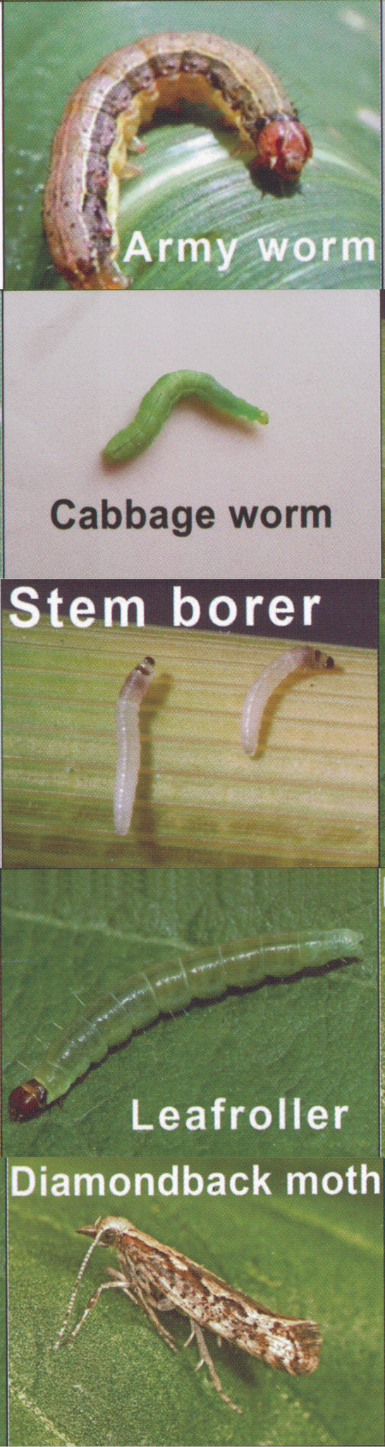 Effective against Cabbage worm, armyworm, diamondback moth, mites, leaf roller worm, fruit borer