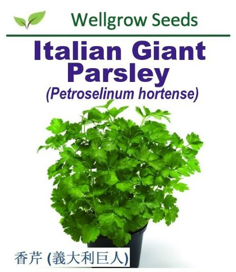 Italian Giant Parsley Seeds (6gm, approx 2,400 sds) Benih Daun Sup - CityFarm
