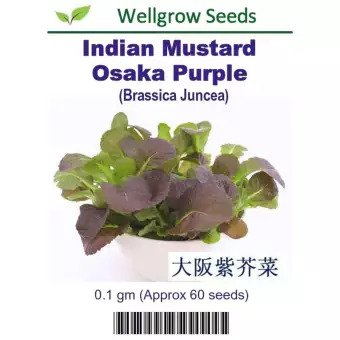 Indian Mustard Osaka Purple Seeds 大阪紫芥菜 (0.1gm, approx. 60 seeds) - CityFarm