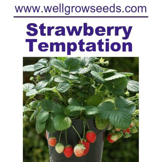 WHT - Strawberry Temptation Seeds (20 seeds)