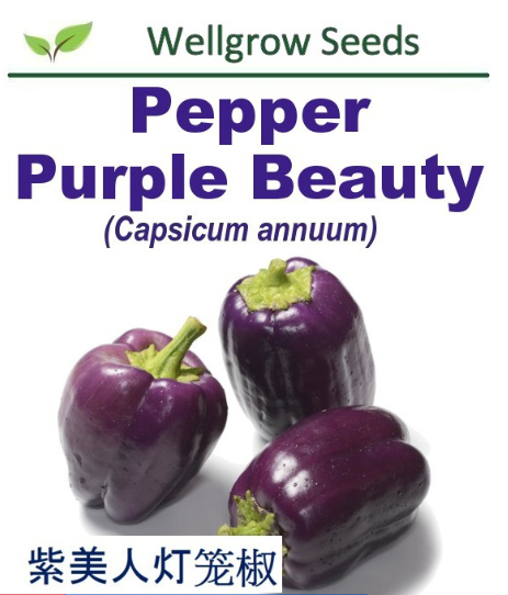 WHT- Pepper Purple Beauty (25sds) 紫美人灯笼椒 Benih Cili