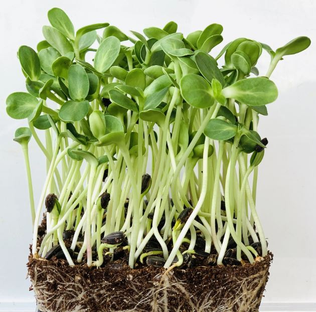 Sunflower Microgreen Seeds - CityFarm