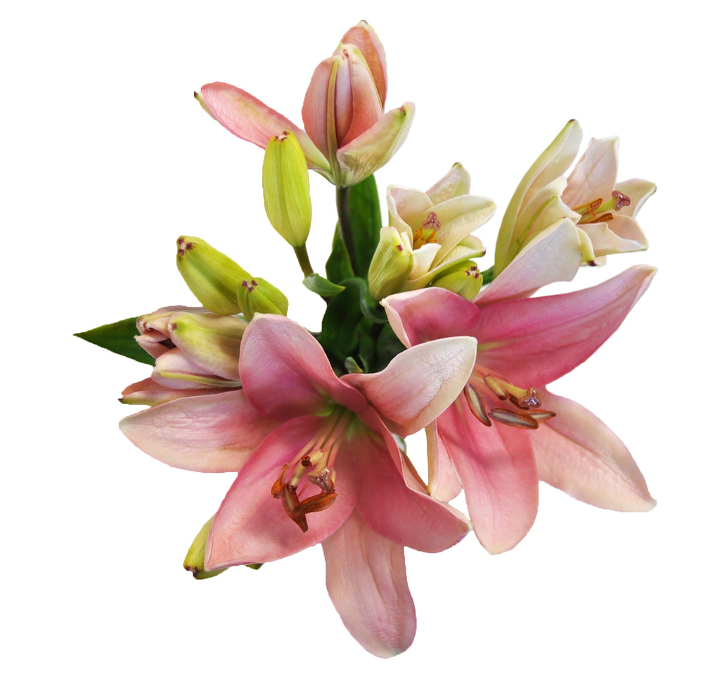 Close up of a asiatic lily. Wholesale lilies for sale.
