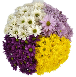 Assorted Natural daisies. This fresh cut wholesale flowers symbolize faraway or departure, they represent innocence, purity and new beginnings.